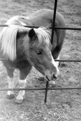 miniature horse, vse, very small equine